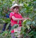 This is a farmer picking shade grown coffee in Honduras near the town of Trinidad.