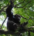 """Charles"" (an adult male chimp) is sitting in a <i>C. alexandri</i> tree."