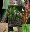 Yellow crazy ants (<i>Anoplolepis gracilipes</i>; bottom left) have invaded parts of the endemic coco de mer (<i>Lodoicea maldivica</i>) palm forest on the island of Praslin, Seychelles. Arboreal molluscs (<i>Vaginula seychellensis</i>, <i>Stylodonta studeriana</i> and <i>Pachnodus pralines</i>) and geckos (<i>Phelsuma astriata</i>, <i>P. sundbergi</i>, <i>Ailuronyx tachyscopaeus</i>, <i>A. trachygaster</i>) are absent or reduced in numbers in areas where ants are present, suggesting displacement of arboreal endemics by the invasive ants.