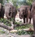 Researchers develop new tools to detect and monitor tuberculosis in Asian elephants.