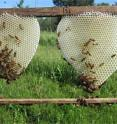Honeybees build a new comb on a wooden frame of a beehive. The piece of comb on the right shows the transition from worker comb (small inner cells) to drone comb (large outer cells).