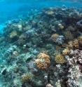 This coral reef near St. John in the US Virgin Islands features <i>Porites astreoides</i>, a species of coral that is expected to do well as ocean temperatures rise.
