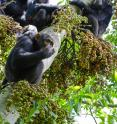 For female chimpanzees, being around rowdy males is disadvantageous when foraging for food, an effect that can interfere with reproductive ability.