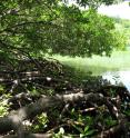 Corals are finding refuge within the red mangroves at Hurricane Hole, a mangrove habitat in the US Virgin Islands, from threats such as warming ocean temperatures, solar radiation and increased ocean acidification.