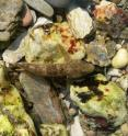 The rock goby can change both its color and brightness to match its background in just one minute.