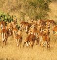 This image shows impala (antelope), Mpala Research Center, Laikipia, Kenya.