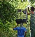 This is researcher Bethany Krebs (on ladder) assembling one of the flight cages used to house a sentinel sparrow for University of Illinois research on the relationship between roosting and West Nile virus transmission.