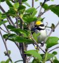 This golden-winged warbler spends the breeding season in the Cumberland Mountains of Tennessee.