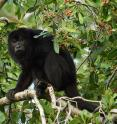 In some areas of Costa Rica, howler monkeys like this one are infected with parasites once limited to capuchin and spider monkeys. After humans hunted capuchins and spider monkeys out of existence in the region, the parasites immediately switched to howler monkeys, where they persist today.