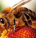 Honey bees act like tiny vacuums, sucking up whatever is in their environment. And one ubiquitous contaminant is manganese, used in the manufacture of steel and in a gasoline additive. New research shows that it makes bees less efficient foragers at levels considered safe for humans.