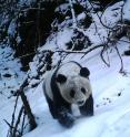A camera trap captures a panda walking through the snow in the Wolong Nature Reserve in Sichuan, China