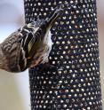 Citizen scientists watching backyard birdfeeders helped scientists pinpoint the climate pattern behind boreal bird irruptions, when vast numbers of northern birds migrate far south of their usual winter range.
