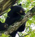 """Mizzou researchers provide detailed """"genetic maps"""" that could help conservation management officials maintain healthy bear populations throughout North America."""