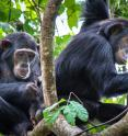 Chema and Rumumba, two low-ranking immigrant female chimpanzees, take turns grooming each other in Gombe National Park, Tanzania. A Duke study finds that low-ranking female chimps prefer to socialize with other females of similar status.