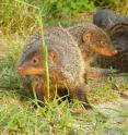Banded mongooses in Uganda are pictured.