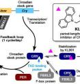 Circadian rhythm generated by feedback loop and the action of the period-lengthening molecule KL001 is illustrated.