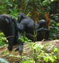 This is an image of wild bonobos.