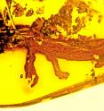 This is the first-ever discovery of a salamander preserved in amber, from an unlikely spot -- the Dominican Republic, where all salamanders are now extinct.