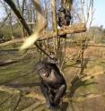 "A female chimpanzee named Tushi uses a stick to ""attack"" the drone. Behind her Raimee is sitting also with a long stick."