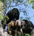 "Image shows a ""chorus"" of howler monkeys roaring."
