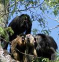 A chorus of howler monkeys of the species <i>Alouatta caraya</i>.