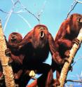 Howler monkeys of the species <i>Alouatta arctoidea</i>.