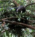 Our closest animal relatives, chimpanzees sleep an average of 11.5 hours a night, whereas humans snooze for just seven hours.