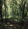 A Southern Wisconsin woods being strangled by buckthorn, a tree that was sold in nurseries and started to invade the region over the past half-century. As buckthorn excludes all other vegetation, this site that was formerly dominated by oak shows some of the ways that human activity has changed the relationship among species, as described by UW-Madison botany professor Donald Waller and co-authors in a new study in the journal Nature.