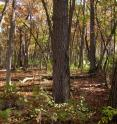 Volunteer restoration efforts, focused on removing invasive trees and shrubs and introducing controlled fires, have helped return this Wisconsin oak woods closer to its conditions before human settlement.