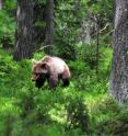 This photograph shows the brown bear (<i>Ursus arctos</i>).