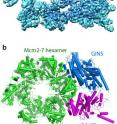 These are two images showing the structure of the helicase protein complex from above. (a) A surface-rendered three-dimensional electron density map as obtained by cryo-EM. (b) A computer-generated 'ribbon diagram' of the atomic model built based on the density map. The helicase has three major components: the Mcm2-7 hexamer ring in green, which encircles the DNA strand; the Cdc45 protein in magenta; and the GINS 4-protein complex in marine blue. Cdc45 and GINS recruit and tether other replisome components to the helicase, including the DNA polymerases that copy each strand of the DNA.