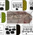 This image shows a layout of the color-producing cells in skin samples from different regions of the fossil, and the resulting color as it would have appeared in life.
