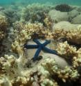 Starfish are surrounded by decomposing coral on the Great Barrier Reef, captured by the XL Catlin Seaview Survey at Lizard Island in May 2016.