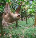A two-toed sloth transits a plantation in northeastern Costa Rica using a cable ordinarily used to move cacao. A team of UW-Madison scientists recently found why sloths are such deliberate, slow-moving animals.