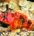 Live specimen of the new scorpionfish (<i>Scorpaenodes barrybrowni</i>).