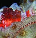 Live specimen of the new scorpionfish western Atlantic congener <i>Scorpaenodes tredecimspinosus</i>.