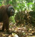 Orangutan caught by motion-sensitive cameras.