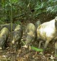 Bearded pig and young caught by motion-sensitive cameras.