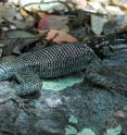 Spiny lizards in the New Mexico desert regulated their temperatures better when shade was dispersed in several small clusters compared to one large clump. The study says models that predict species extinction need to factor in the spatial dispersion of shade.