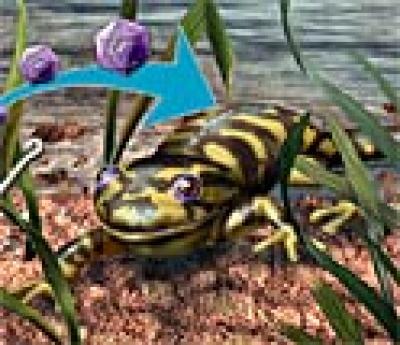 Tiger Salamander Larvae