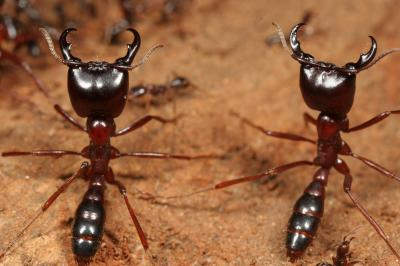 Worker Ant Vs Soldier Ant Orphan army ants join ...