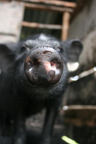 Chinese pigs 'direct descendants' of first domesticated