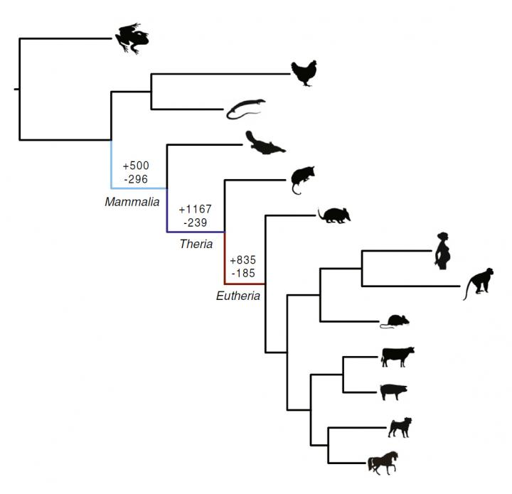 Ancient 'genomic parasites' spurred evolution of pregnancy in mammals