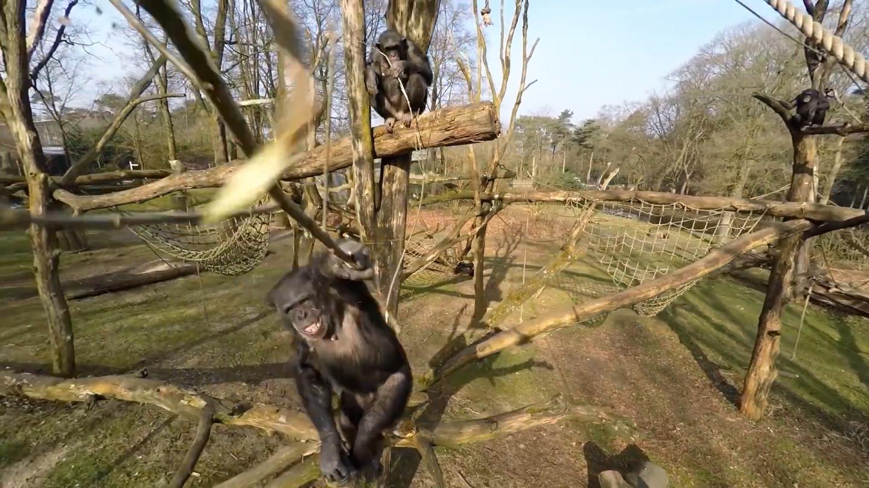Βίντεο: Πανούργοι χιμπατζήδες καταρρίπτουν drone