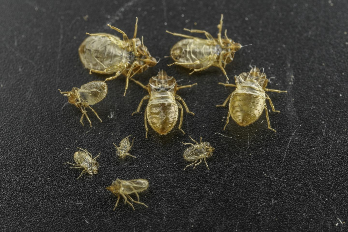 Bed Bug Skin Casts Pictures