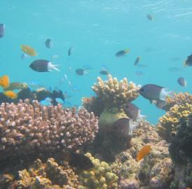 This is Lizard Island coral reef with study species, Spiny damselfish (<i>Acanthochromis polyacanthus</i>).