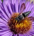 The cleptoparasitic bee <I>Coelioxys sayi</I>, shown here, is widely distributed in North America and parasitizes Megachile leaf-cutter bees. This photo was taken in Prospect Park in Brooklyn, N.Y.