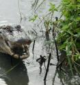 PLEASE PASS THE FRUIT -- A new WCS-led study says American alligators (pictured) and 12 other crocodilians consume fruit, in addition to their usual meat heavy diets.