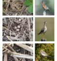 American robins (top) and vesper sparrows (bottom) were found nesting in greater abundance in no-till than in tilled soybean fields. A rare grassland species, the upland sandpiper (center) was found nesting in a no-till field.