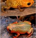Two of the new species of miniaturized frog found in the Brazilian Atlantic Forest are pictured. Upper image is of <i>Brachycephalus auroguttatus</i> and lower image is of <i>Brachycephalus verrucosus</i>.